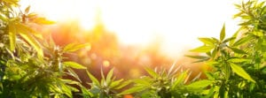 Cannabis Industry Consultation